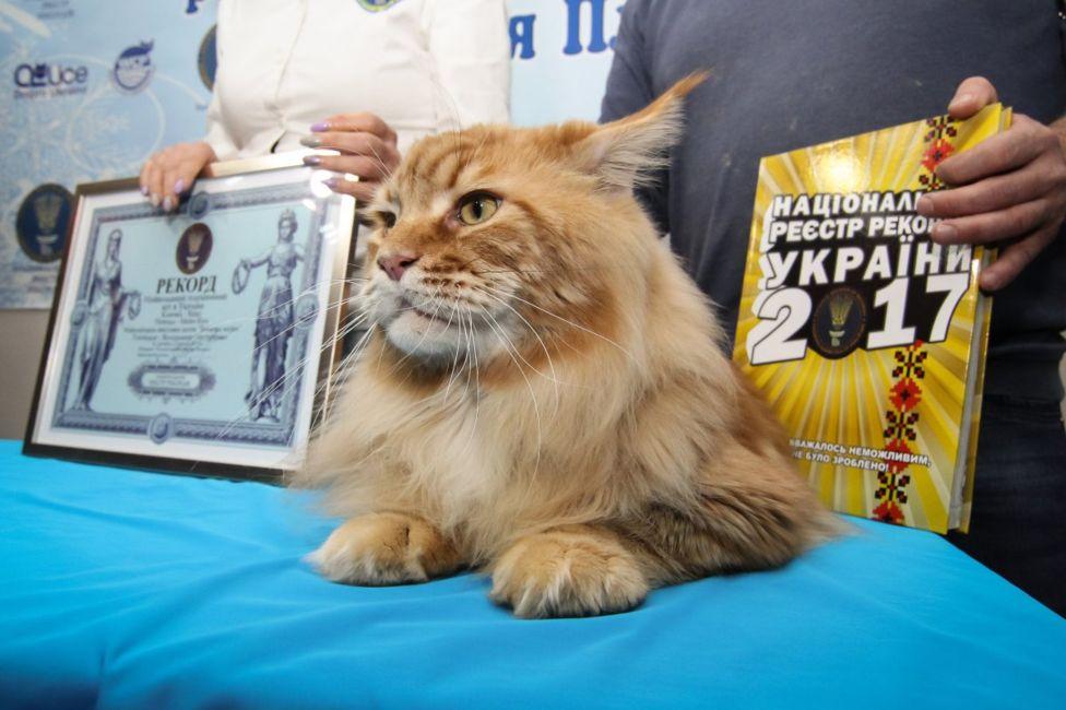ВУкраїні знайшли найбільшого кота. Рудий і завдовжки понад метр
