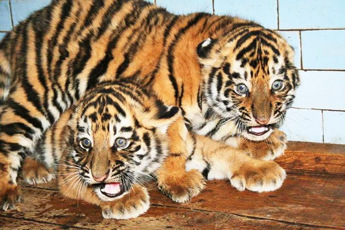 Які ж милі ці пухнасті котики! Щоправда, незабаром вони стануть копіями великих і граційних батьків. Фото з сайту facebook.com/nikolaevsky.zoopark