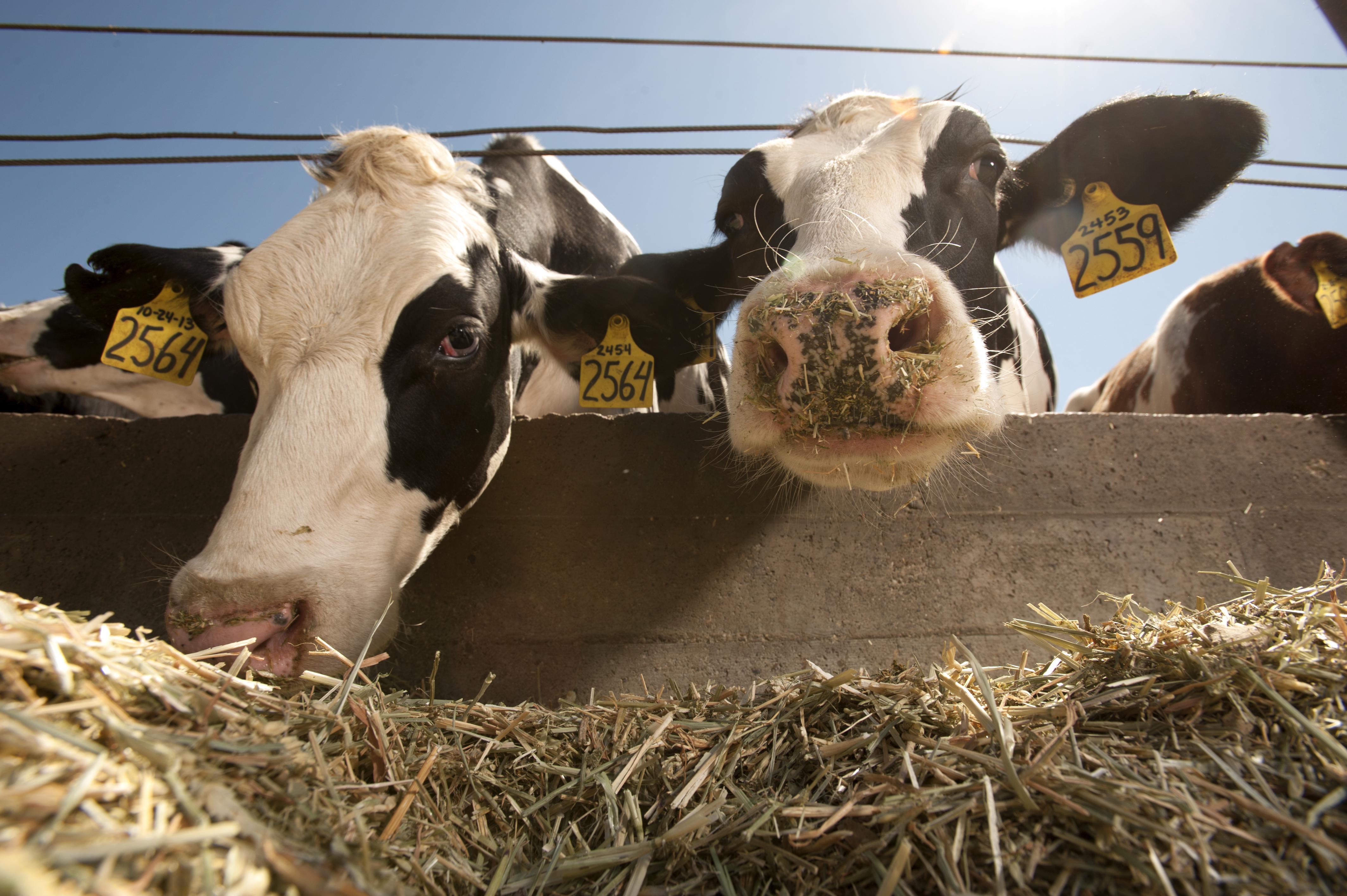 Картинки молочное скотоводство