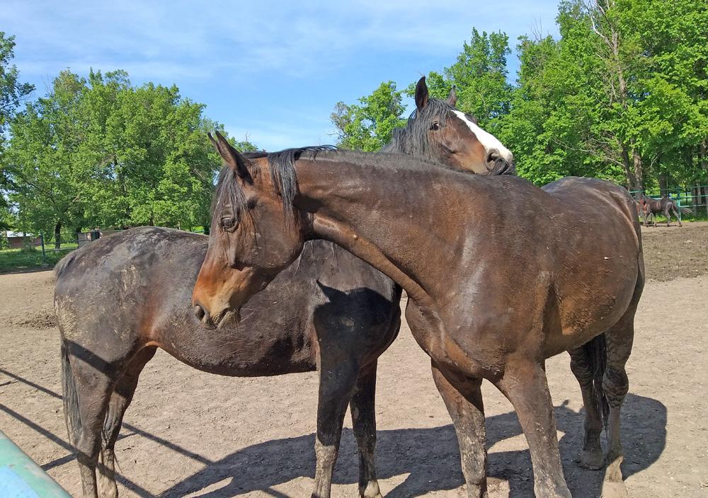 На Деркульському кінному заводі на Біловодщині утримують коней порід чистокровна англійська та українська верхова