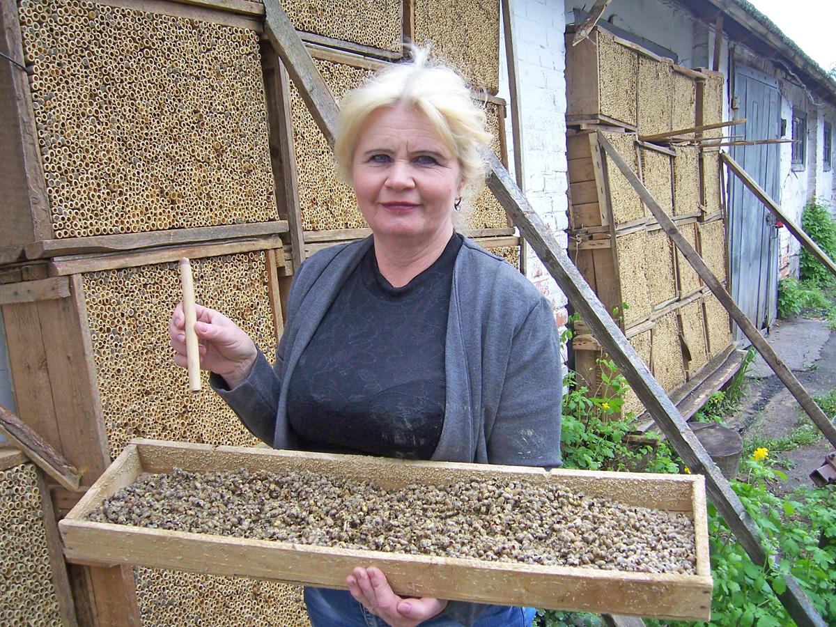 Вулики для дикої осмії складаються з очеретяних трубок, у кожній з яких бджола відкладає 8—12 личинок. Фото автора