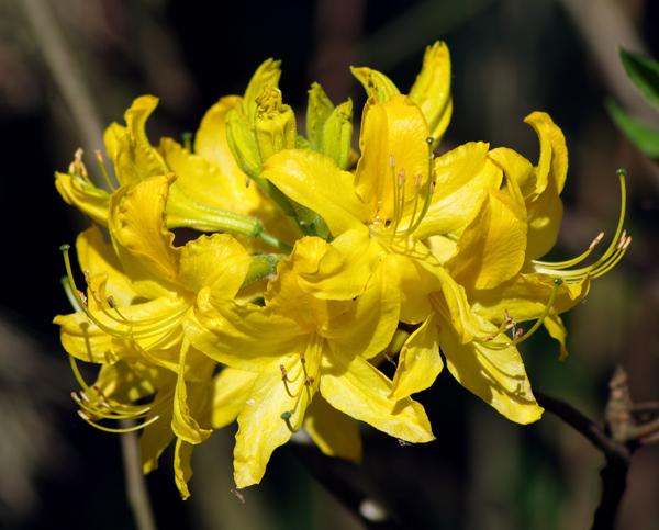 У ботанічних заказниках Житомирщини дбайливо охороняють десятки цінних рослин