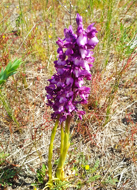 Больше всего в Европе поле диких орхидей расположен на Кинбурне